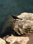 Great-tailed Gackle @Austin town lake