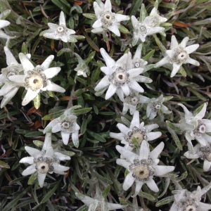 Edelweiss - what else.