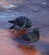 Quite common example of a courtship dance.