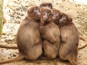 "Baboons - one of the species with ""dishwasher brains""."