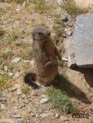 Marmots... aren't they the cutest?!
