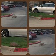 Armadillo in the morning hours.