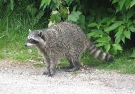 A full grown raccoon.