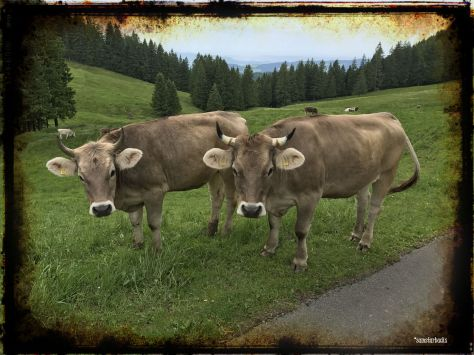 Monday-Hike_05-Cows
